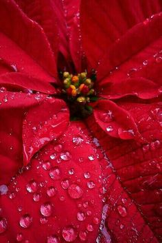How to Turn a poinsettia red again for next year. https://www.houseplant411.com/askjudy/how-do-i-turn-a-poinsettia-red-again