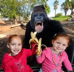 Gorilla photobomb at Australian Zoo #funny  Motaba, the western lowland silverback gorilla, appeared tempted by the bananas brandished by zoo-visiting sisters Ella O'Brien, six, and her four-year-old sibling Bridget.    The pair posed in front of Motaba at Werribee Open Range Zoo in Melbourne, Australia.