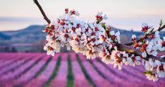 La floración de los almendros estalla en la provincia de Lleida