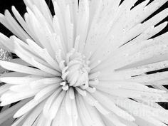 Simply White - photograph by Karen Cook #macrofloral #abstractphotography #elegance