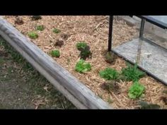 This is a quick Survival Podcast video to show you the effects of using a fish tank as a mini greenhouse on the growth of lettuce. The plants you are looking. Using a Fish Tank for a Mini Greenhouse Tracey Mello southpawtracey Garden This is a qu Lean To Greenhouse, Greenhouse Plans, Homemade Greenhouse, Hydroponic Gardening, Hydroponics, Water Conservation, Potting Soil, Types Of Houses, Tropical Plants