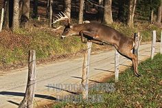 leaping deer | ... image of whitetail buck Deer jumping fence stock photo pd715779.jpg