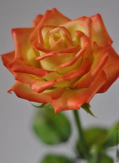 Beautiful Rose Flowers, Unique Roses, Romantic Roses, Love Rose, All Flowers, Sugar Flowers, Blossom Flower, My Flower, Peace Rose