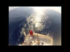 Release of Gigantic Blue Marlin Off Bermuda Caught on Video