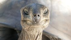 Seychellen offen: ab 25. März ins Paradies - The Chill Report Honeymoon Vacations, Hawaii Honeymoon, Hawaii Travel, Vacation Trips, Les Seychelles, Seychelles Beach, Sea Turtle Facts, Land Turtles, Sea Turtles