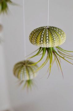 With so many sea urchins around our house: A Hanging Jellyfish ! (But where can I find air plants in Norway? Sea Urchin Shell, Sea Urchins, Floating Plants, Jellyfish, Air Plants, Shells, Pottery, Ceiling Lights, Norway