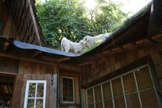 Goats on the  Roof  Coombs Market BC