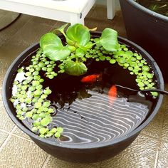 Container water garden ideas | Small space water gardening. www.ContainerWaterGardens.net
