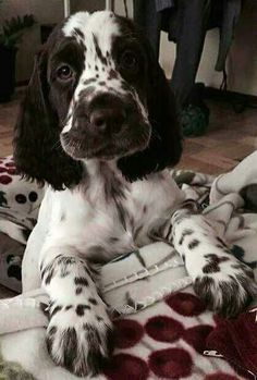 English Springer Spaniel Pup ~ Classic Look & TrimYou can find English springer spaniels and more on our website.English Springer Spaniel Pup ~ Classic Look & Trim Chiots Springer Spaniel, Perro Cocker Spaniel, Spaniel Dog, Black Cocker Spaniel, Cute Puppies, Cute Dogs, Dogs And Puppies, Doggies, Corgi Puppies