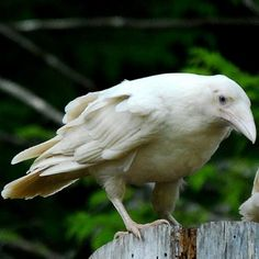 amazing white raven- according to myth- ravens were pure white, but the sun was swallowed by darkness one day- Raven was the only one brave enough to face the dilemma, flying into the darkness and single-handedly beat off the darkness, but after his feathers were eternally darkened.