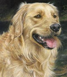 Lifelike and sensitive Golden Retriever paintings by dog artist Sarah Theophilus. Golden Retriever Art, Golden Retrievers, Animal Paintings, Animal Drawings, Dog Drawings, Crayons Pastel, Scratchboard Art, Dog Artist, Funny Photography
