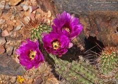 Echinocereus fasciculatus, in habitat Arizona