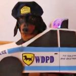 Can A Dachshund Drive A Police Car? Hilarious!!?  The video on next page has already  5,705,371 ( 5.7 Mio )  views!!  Have you heard about Crusoe, the famous  Dachshund ? You must watch the video on next page.  He has lots of views on his YouTube videos. It is not only thousand views, but it reaches millions. He even has a New York Times best-selling book.  How old is he? He is just 6-year old. But he is also a  dog . He is not a large dog, which is why he is cute.  Though he is s..