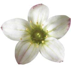 Saxifraga × arendsii Touran White
