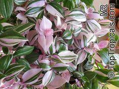TRADESCANTIA_TRADESCANTIA FLUMINENSIS | Tradescantia albiflora, Tradescantia fluminensis, Inch Plant, White ...