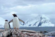 Antarctica (Gentoo penguins.)
