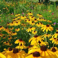 Black Eyed Susans & Cosmos peeking out in the back!