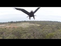 2m Wedge-Tailed Eagle takes down Drone. Watch it Punch it out of the sky - Australia (Eagle is Fine)