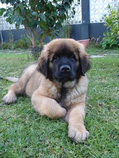 This is a Leonberger puppy. I grew up with a Leonberger. They are gentle gia. This is a Leonberger puppy. I grew up with a Leonberger. They are gentle giants & so very smart. Cute Puppies, Cute Dogs, Dogs And Puppies, Doggies, Animals And Pets, Baby Animals, Cute Animals, Big Dogs, I Love Dogs