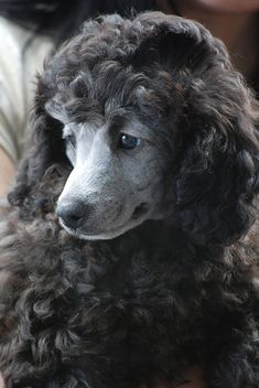 Silver Standard Poodle puppy. I want one!