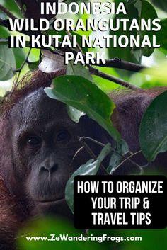 Wild Orangutans in Kutai National Park: How to Organize your Trip - Ze Wandering Frogs Borneo Orangutan, Orangutans, Raja Ampat Islands, African Holidays, Animal Experiences, Park Lodge, Responsible Travel, Wildlife Conservation, Bali Travel