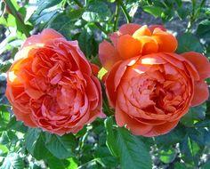 Designs For Garden Flower Beds 'Summer Song' David Austin Rose Flowerpedia All Flowers, Pretty Flowers, Wedding Flowers, Exotic Flowers, Roses David Austin, Austin Rosen, Rose Foto, Ronsard Rose, Summer Songs