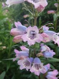 penstemon - Google Search