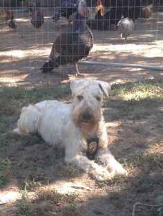 """Bond and his handler Janell Mayberry helped rescue people after the devastating tornado in Moore, Oklahoma this year. Bond searched for hours, despite being tired and dirty. Bond is being honored for his efforts and will be receiving """"The Wheaten Ambassador Award"""" this week."""
