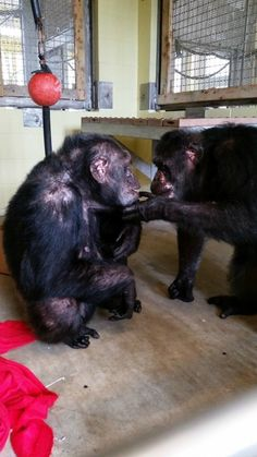 Depressed ChimpRescued From Roadside Zoo Reunites With Her Own Kind