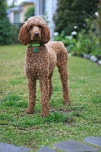 Poppy is a perfect example of the standard poodle's dense, curly, single-layer coat. Photo by A W (Living in Monrovia) via Flickr.