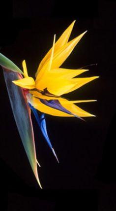 Bird of Paradise (Strelitzia reginae)*