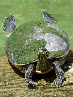Water turtle at Miccoskee Indian Village, Florida Land Turtles, Cute Turtles, Sea Turtles, Terrapin, Animals Beautiful, Cute Animals, Aquatic Turtles, Carapace, Tortoise Turtle
