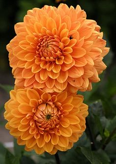 Dahlia Renato Tosio.There are MANY different varieties but they need at least part sun to full sun and they are usually taller than you'd expect so they need some room.