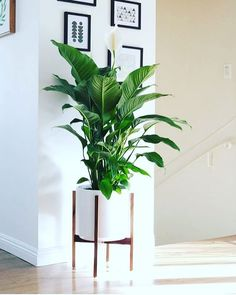 Plant corner air purifying house plants clean air plants plants h Living Room Plants, House Plants Decor, Garden Living, Plant Decor, Big House Plants, Peace Lily Indoor, Peace Lily Plant, Indoor Plants Clean Air, Air Cleaning Plants