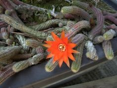 cactus under  bonsai tree