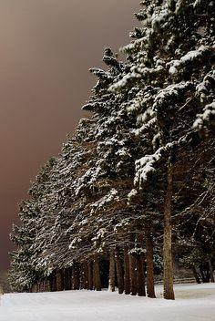 Pine trees at the Iowa State Nursery // photo by Luke Healey, 2006