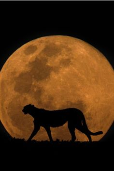 eqiunox:  The Cheetah  The Moon by Mario Moreno on Fivehundredpx