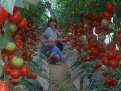 Супер-рецепт для томатов: очень эффективная подкормка! – БУДЬ В ТЕМЕ