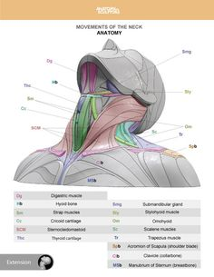 Neck Muscle Anatomy, Anatomy Of The Neck, Head Anatomy, Human Body Anatomy, Human Anatomy And Physiology, Anatomy Study, Anatomy Drawing, Anatomy Art, Anatomy Reference
