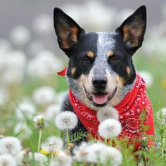 Australian Cattle Dog. This is Jasmine, one of my fave dogs in the Aussie club at Flickr. Photo by Red~Star.