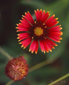 """Beach Flower"" | Image #3268 Gaillardia Pulchella taken in Marineland, Florida  ©2015 www.mellenphotography.com"