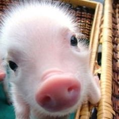 Hhheeaarr Pig pig! My piggy looked like this when he was a piglet......miss those days