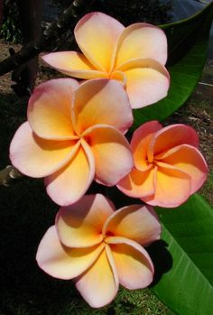 One of my favorite flowers, Plumeria too bad they won't grow in dry heat