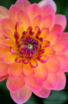 Waterlily Dahlia - P Beautiful gorgeous pretty flowers