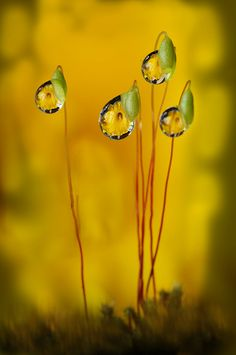 Droplets on moss seed reflecting a yellow hibiscus - amazing ♥
