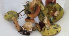Sametine tumepruun kübar torukesed muutuvad vajutades sinakaks. Suurepärane söögiseen. Xerocomus badius