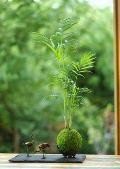 Kokedama  Plantas únicas. El arte de hacer kokedamas es una antigua técnica japonesa, en realidadkokedamasignifica en japonés bola de musgo (koke = musgo y dama = bola). Está técnica tiene ciertas similitudes con los bonsáis, ya que ambas técnicas retienen las plantas en una pequeña porción de tierra pero los cuidados de las kokedamas son mucho más sencillos.