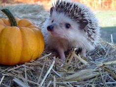 Pumpkin Hedgie