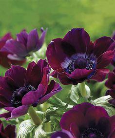 Windflowers Burgundy Bulb & Pruner - Set of 40