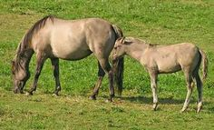 Criollo - So American horse
